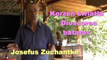 Korzeń światła – Dioscorea batatas – Josefus Zuchantke