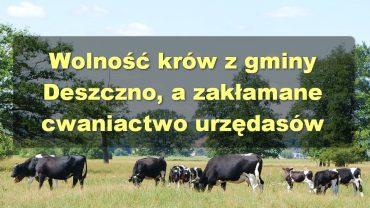 Krowy z Deszczna